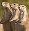 family-of-black-tailed-prairie-dogs-388