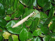 Mantis in wild