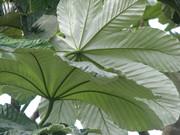 Yagrumo leaves