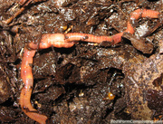 Mating Worms