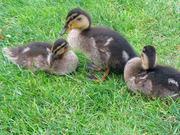 Duckling_safe