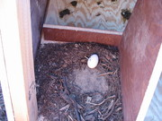 One already laid an egg