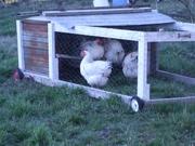 Delaware hens in chicken tractor March 08