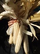 Hickory Hill flour corn
