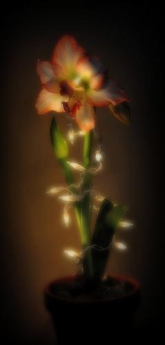 Lighted Amaryllis