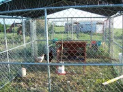 Chickens Summer Home