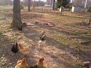 March 2nd New rooster with the hens