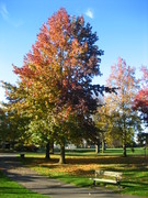 sugar maple fall with bench