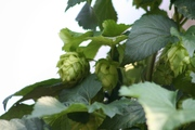 My 1st Year Hops