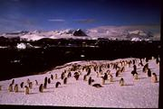 034 pingvinflokk ant