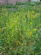 Mustardgreensinbloom