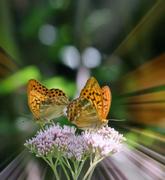 Farfalline (non in macro)