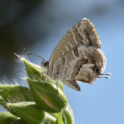Cacyreus marshalli, Lycaenidae