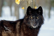 Black-wolf-photo-That look..
