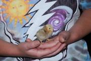 Tiny little bantam