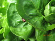 Pink spotted aphid eater