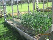 garlic, onions