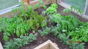 Spring lettuces and carrots