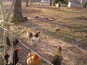 March 2nd Rooster in the front