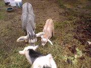 Jan. 13th Goats eating