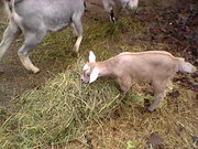 Jan. 13th Romeo eating hay