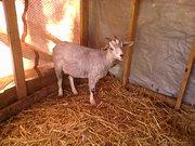 Dec. 15th New goat name Kay