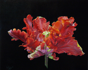 Red Parrot Tulip and YouTube Video