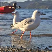 resource_seagull6