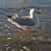 resource_seagull4