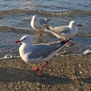 resource_seagull5