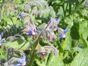 Study of Borage