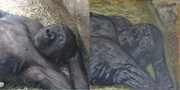 Gorilla Composite