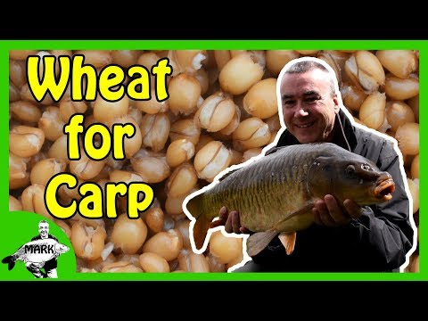 Preparing Wheat for Carp Fishing