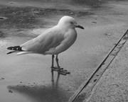 Seagull  City.