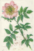 Bach Flower Wild Rose