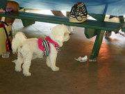 Angel...a cute dog at picnic