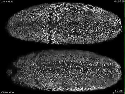 adn-dna.net 0174 Desarrollo embrionario de Drosophila melanogaster a tiempo real