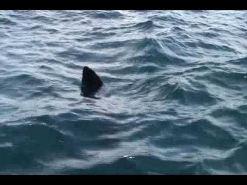 Huge Ocean sunfish spotted while halibut fishing In northern newfoundland rare sighting