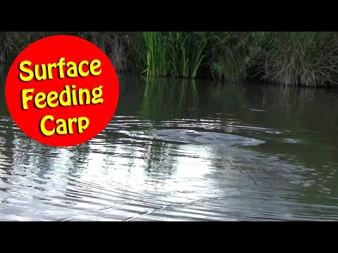 Surface Fishing for Carp - Uncut
