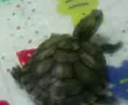 friedland (turtle) walkin. SV A0009