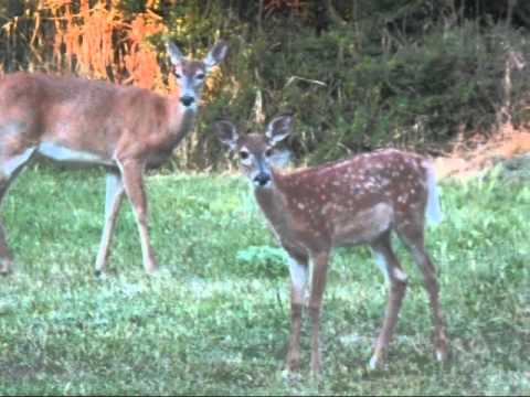 late summer fawn