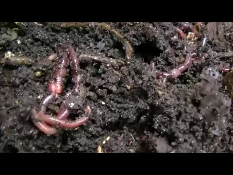 Vermicomposting - Outside Worm Bin - June 29 and July