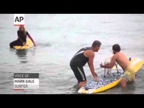 Calif. Man Takes His Pet Goats Surfing