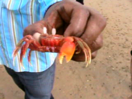 red crabs in Chilika Lake