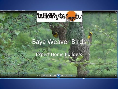 Baya Weaver Birds-expert Home Builders