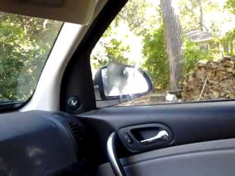 Bird Fighting with Car Mirror