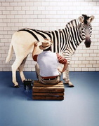 hadi awe zebra