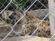 Hyena at Dar Zoo