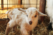 Raising Goats Naturally webinar