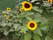 Mammoth Russian Sunflowers